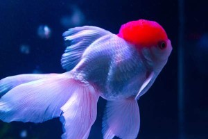 free-photo-goldfish-06