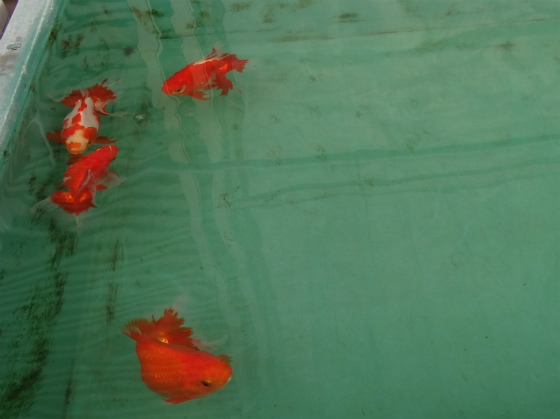 土佐金親魚