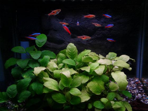 熱帯魚カージナルテトラ