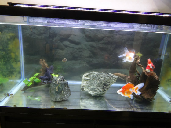 金魚水槽の掃除
