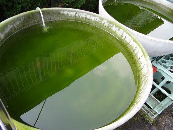 土佐錦の丸鉢