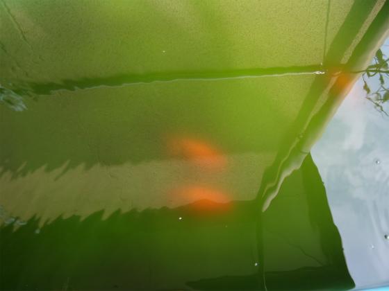 ランチュウ親魚