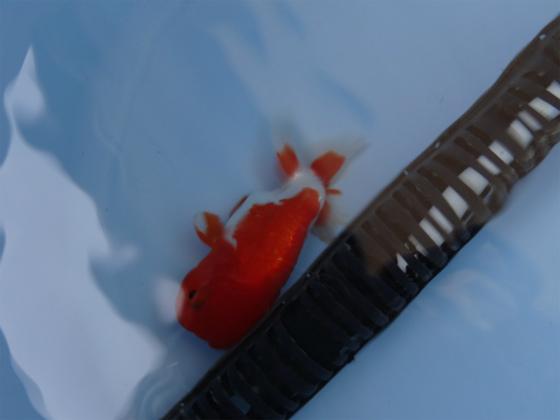 金魚が沈む