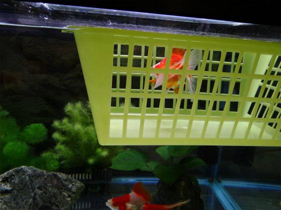 金魚の隔離