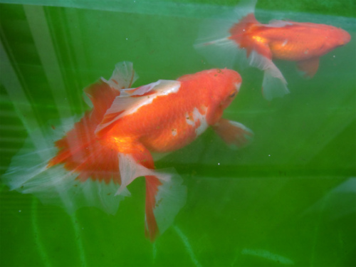 土佐錦親魚