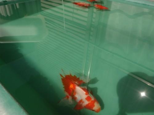 土佐錦種魚