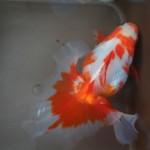土佐錦種魚メス