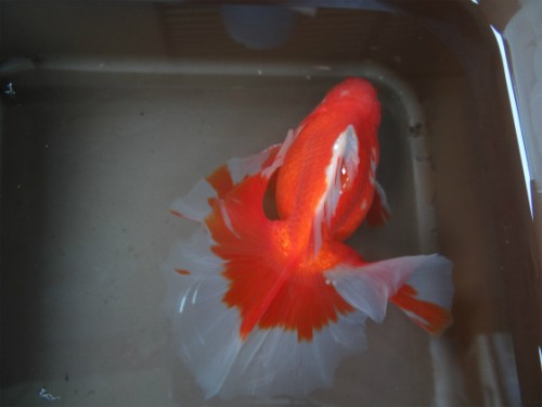 土佐錦種魚オス