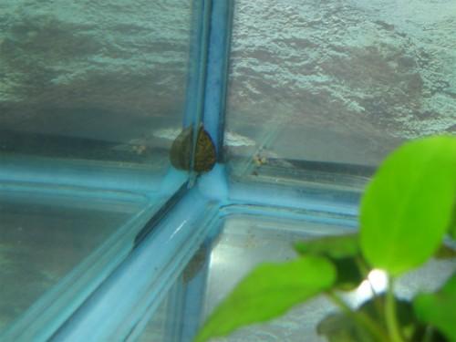 フネアマ貝の産卵