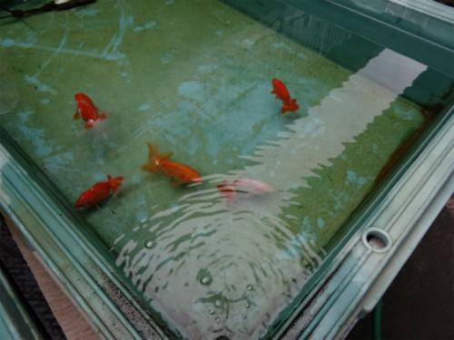 土佐金種魚