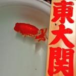 らんちゅう東大関