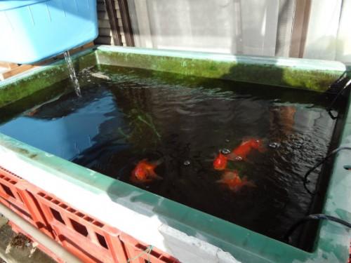 金魚の水かえ