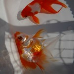 金魚の怪我
