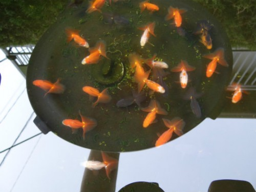丸鉢の当歳魚