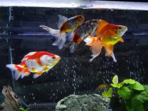 金魚室内水槽