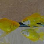 金魚キラキラ