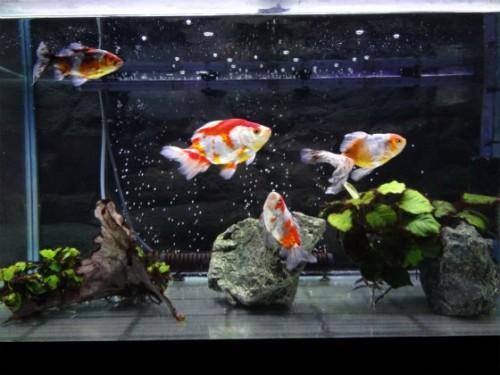 室内水槽の金魚