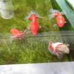 宇和島土佐錦愛好会の代表者様から頂いた土佐錦魚は冬眠中