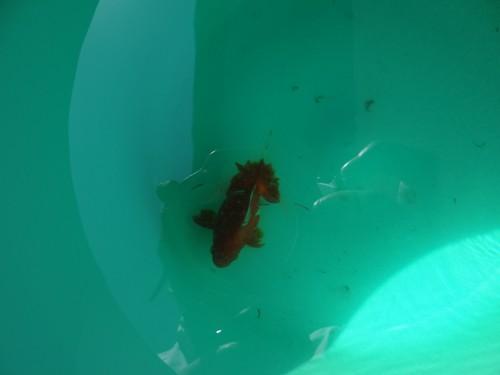 白雲病治療中の土佐錦魚