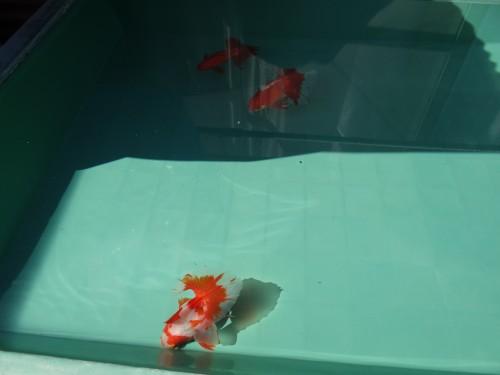 土佐錦魚の親魚